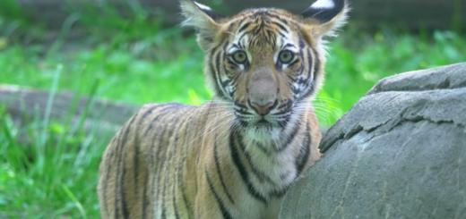世界首例!纽约布朗士动物园一只老虎新冠检测呈阳性_图1-3