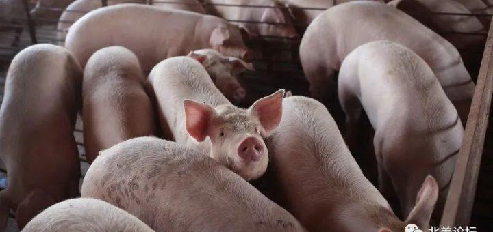 美国数百万头猪将被安乐死,Costco等多家超市限购肉类!