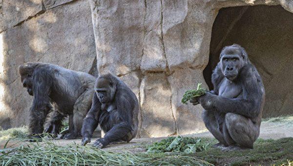 美国数只大猩猩感染新冠 或系该物种全球首批新冠病例